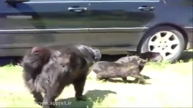 جلوگیری از دعوای دو گربه توسط سگ ها