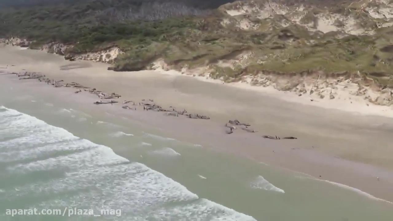 خودکشی دسته جمعی 145 نهنگ در سواحل نیوزیلند