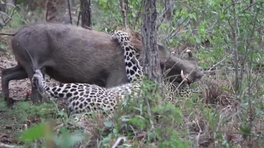نبرد مرگبار پلنگ با گراز وحشی بزرگ